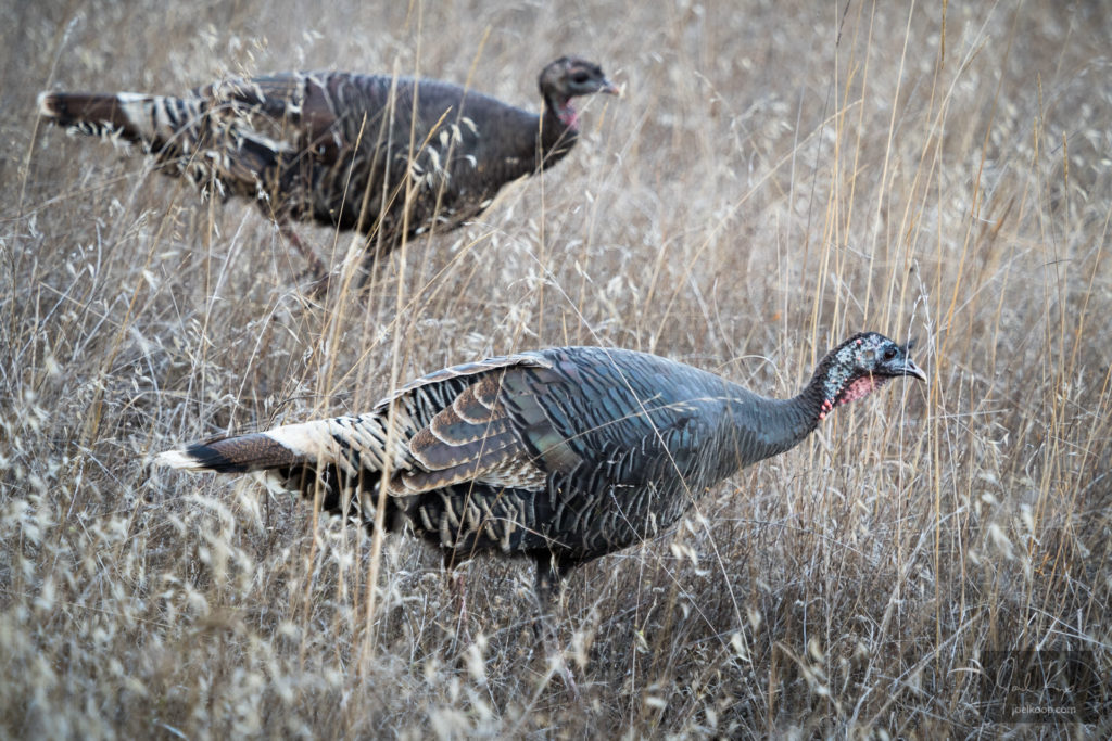 Wild Turkeys in California