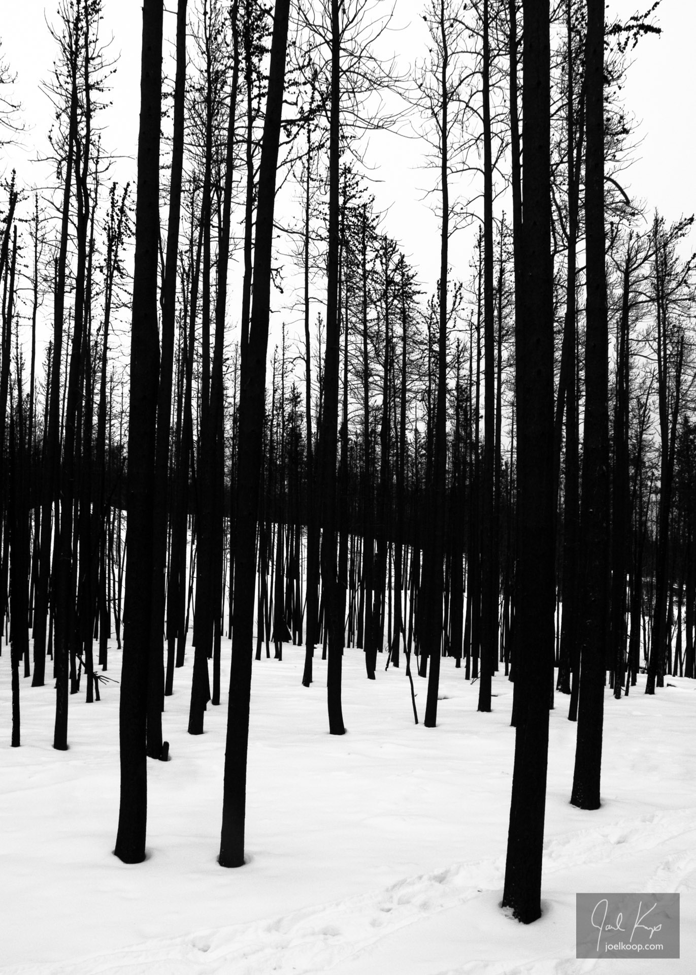 Winter Forest After a Fire