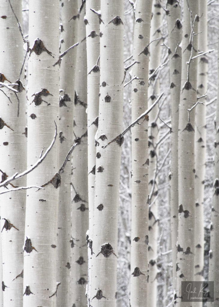 White Poplar Trunks