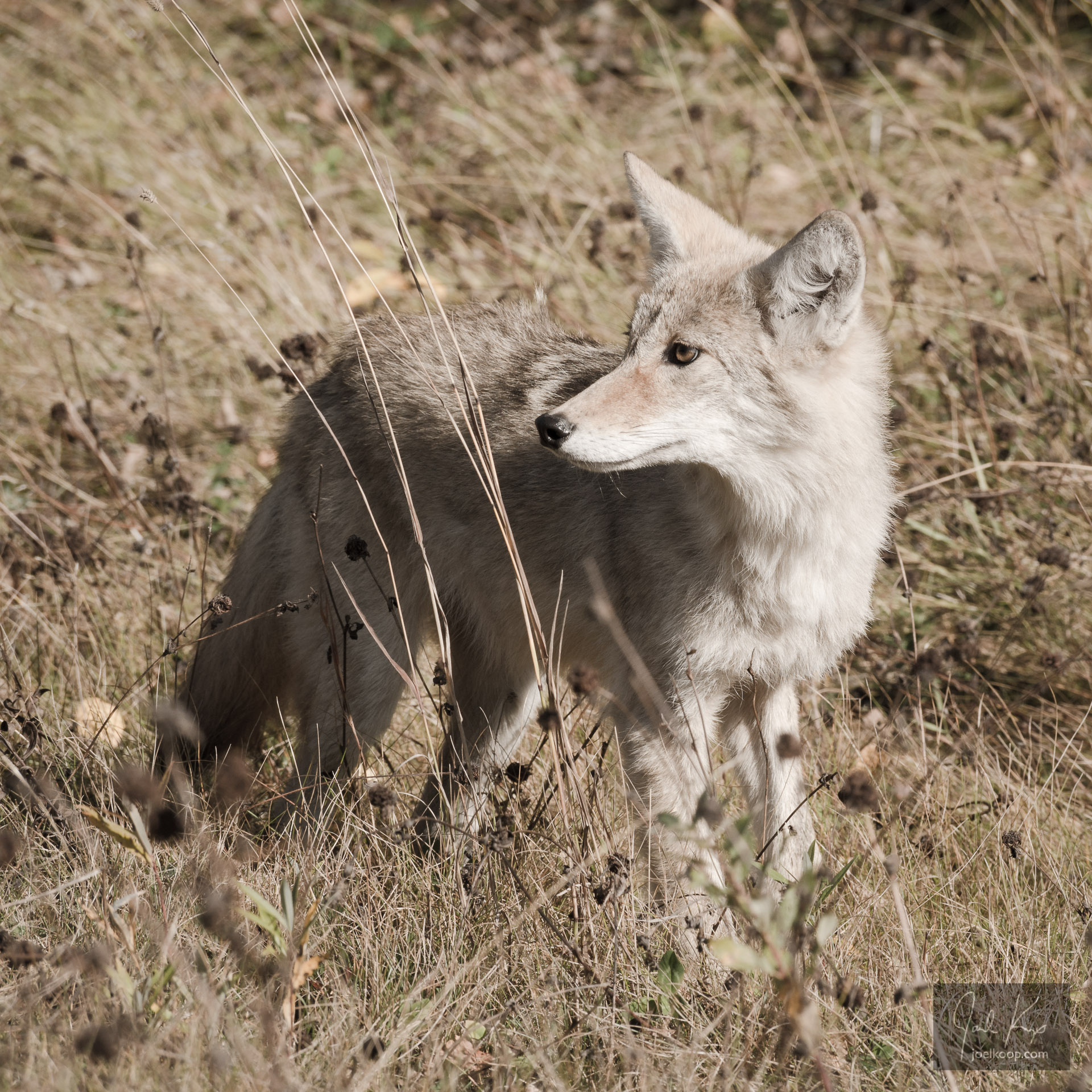 Coyote Looking Back