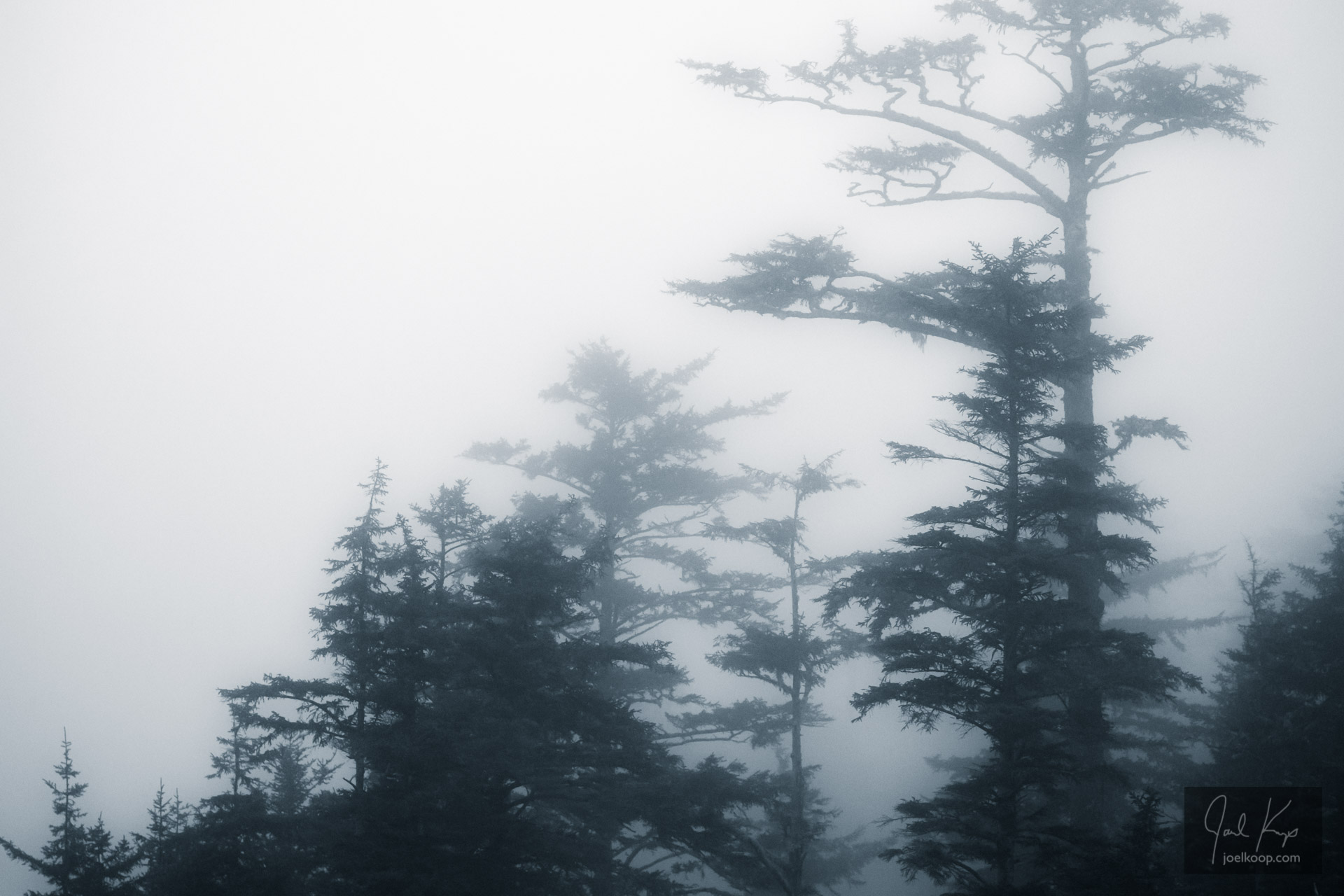 Spruce in the Mist