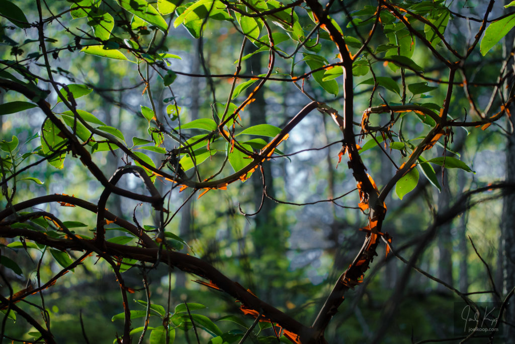 Backlit Arbutus Branches