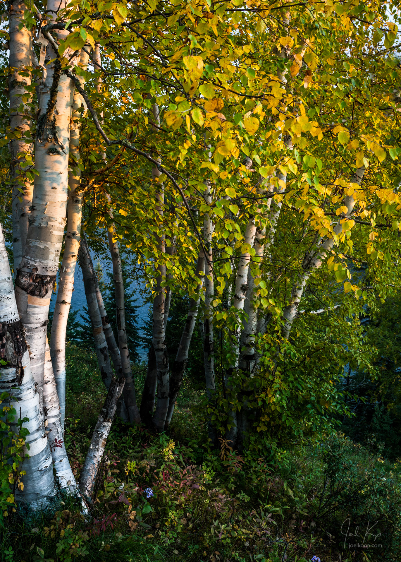 Fall Birch at Sunset