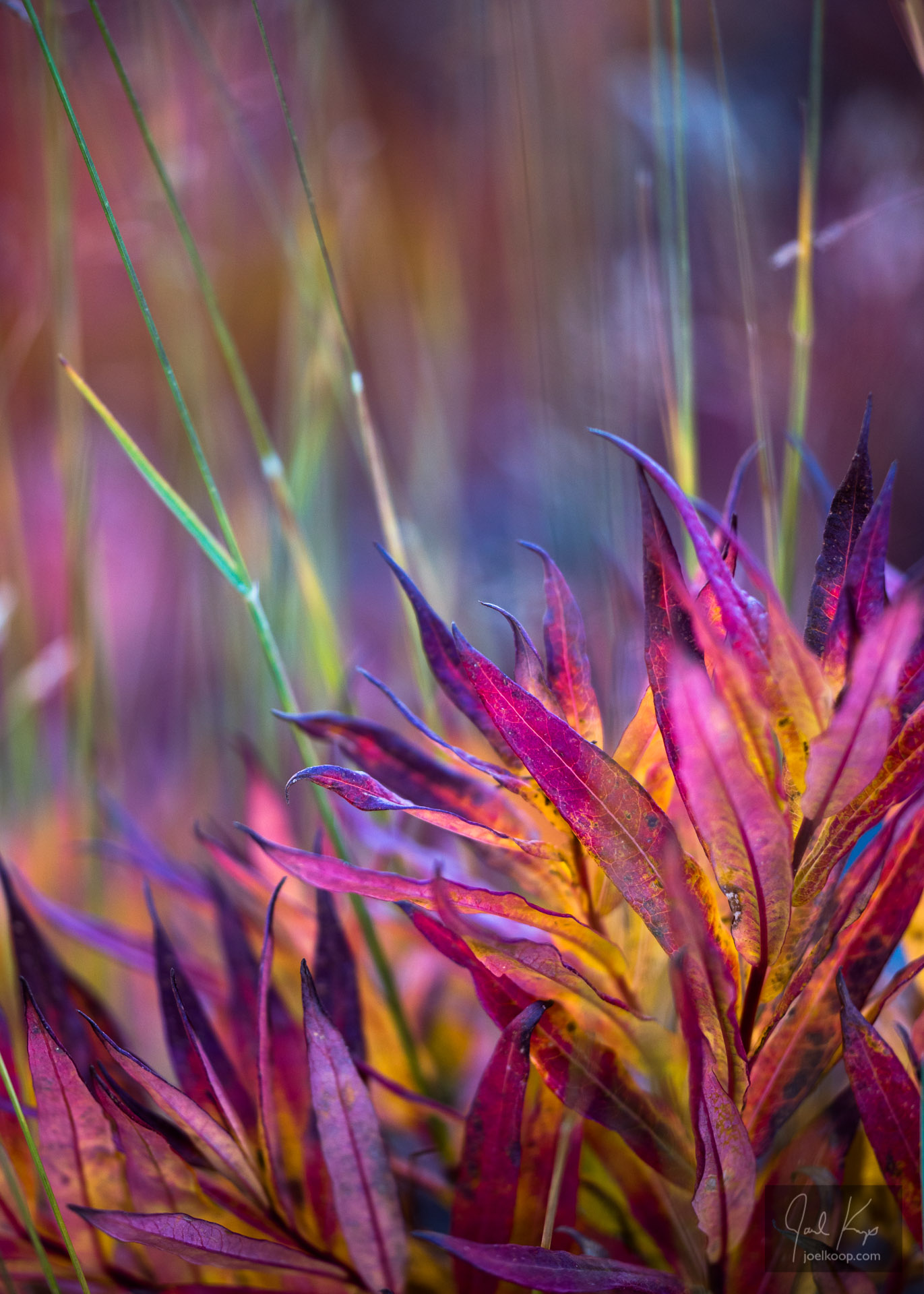 Bright Fireweed